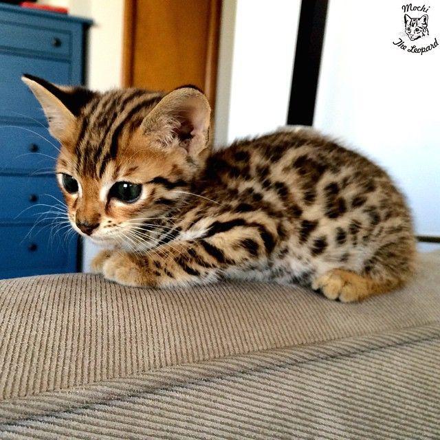 Connu Chat du bingale chat du bengal snow | BB04