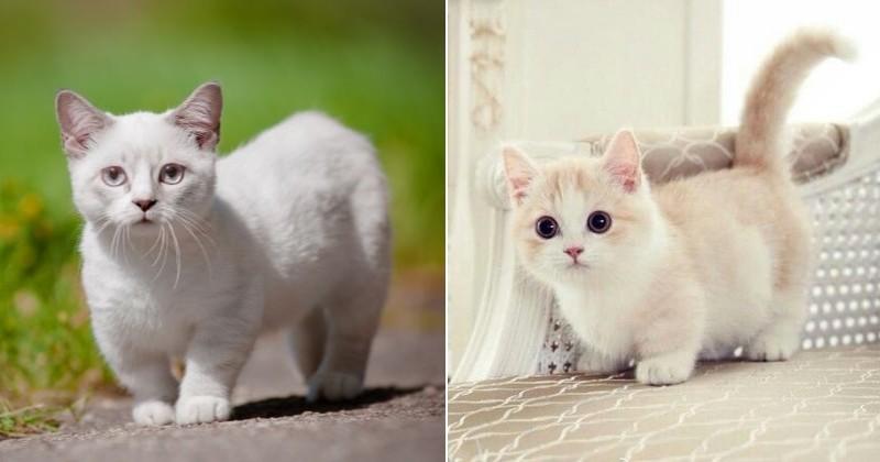 Chat munchkin le plus petit chat du monde - Prix chat munchkin ...