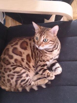Race chat d appartement chaton angora gris