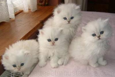 Extrem Chaton de race a donner chat yeux bleus a vendre   II59