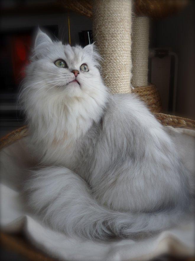 chat persan poids adulte français