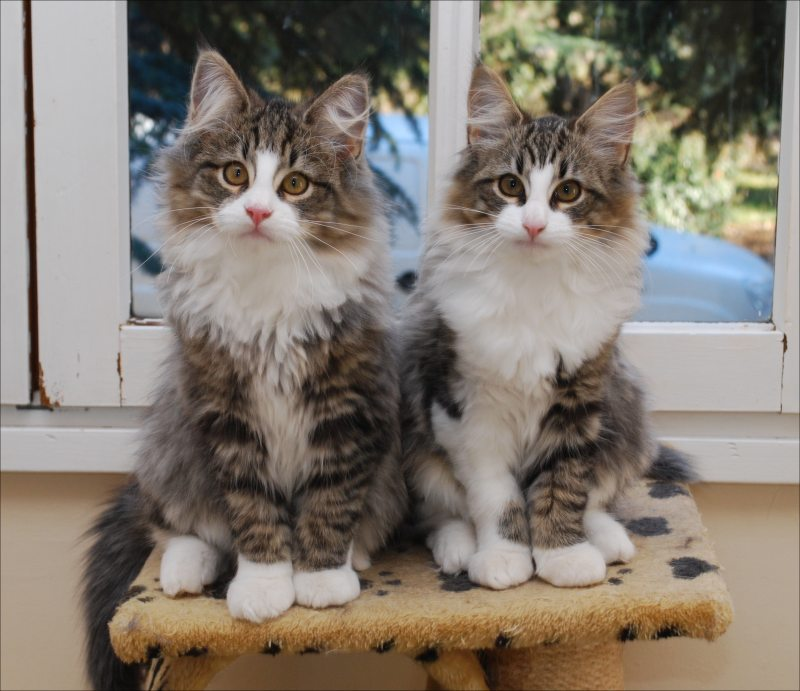Acheter chat norvegien les chats bengal - Chat munchkin prix ...