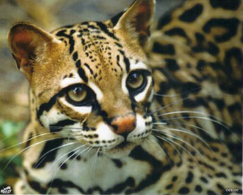 Prix chat du bengal