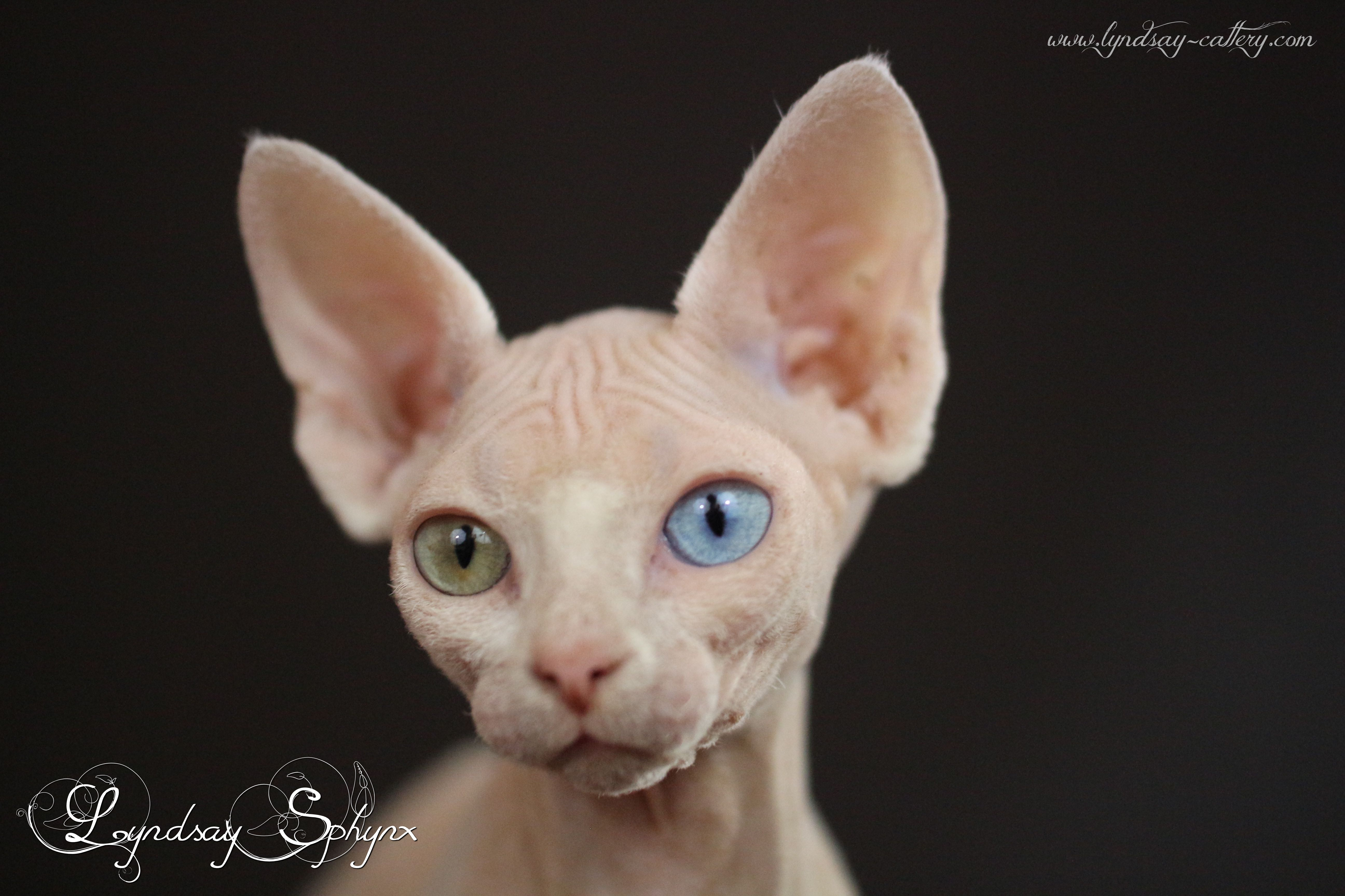 Sphynx chat elevage