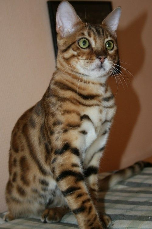 Les chats du bengal le bon coin chat bengal - Le bon coin arbre a chat ...