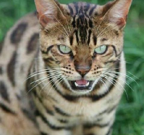 Le chat du bengal bengal brown - Chat du bengal gratuit ...