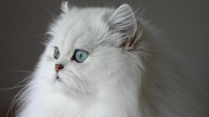 chat persan caractere chaton norvegien noir et blanc. Black Bedroom Furniture Sets. Home Design Ideas