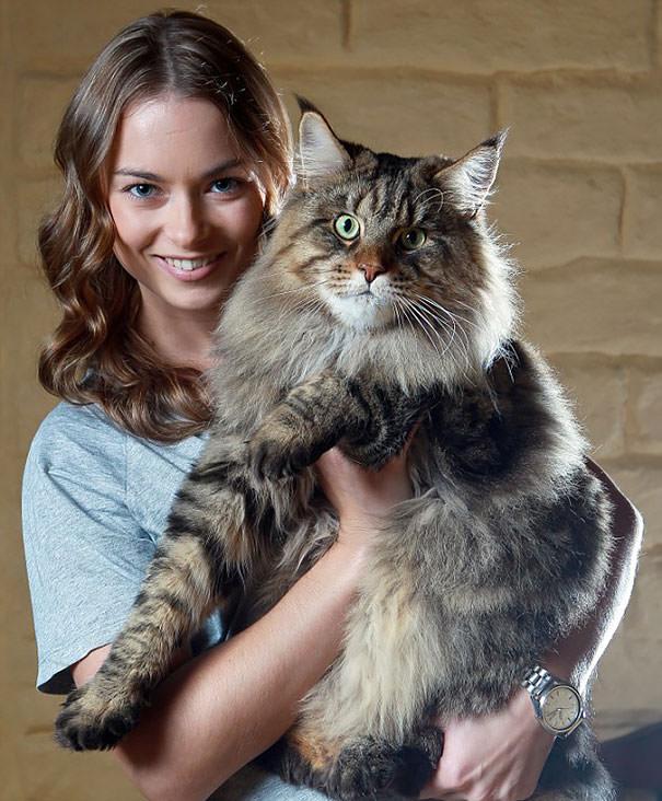 chat grande taille domestique plus petite race de chat. Black Bedroom Furniture Sets. Home Design Ideas