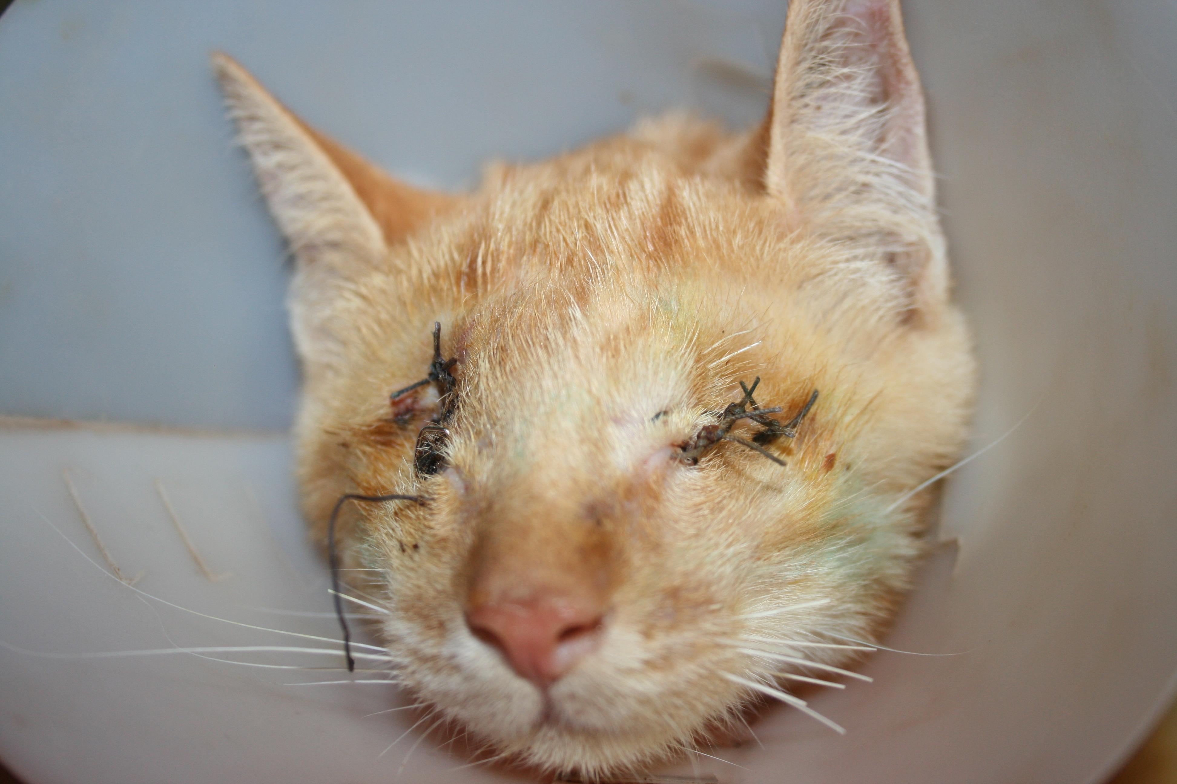 Top Le chat roux - Annonces chatons BK79