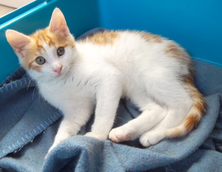 Photo de chat roux et blanc