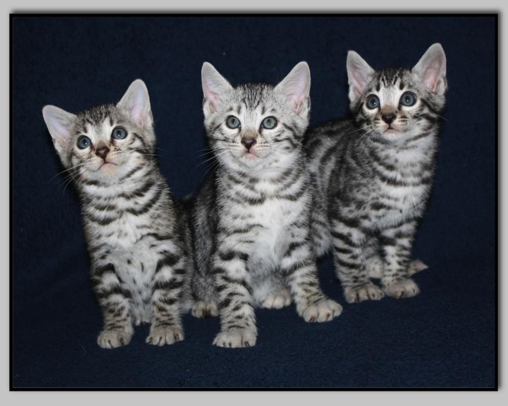 chat bengal blanc a vendre - Chaton Bengal Gratuit