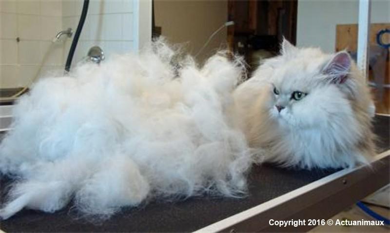 Chat perd ses poils chat poil terne - Perte de poils chez le chat ...