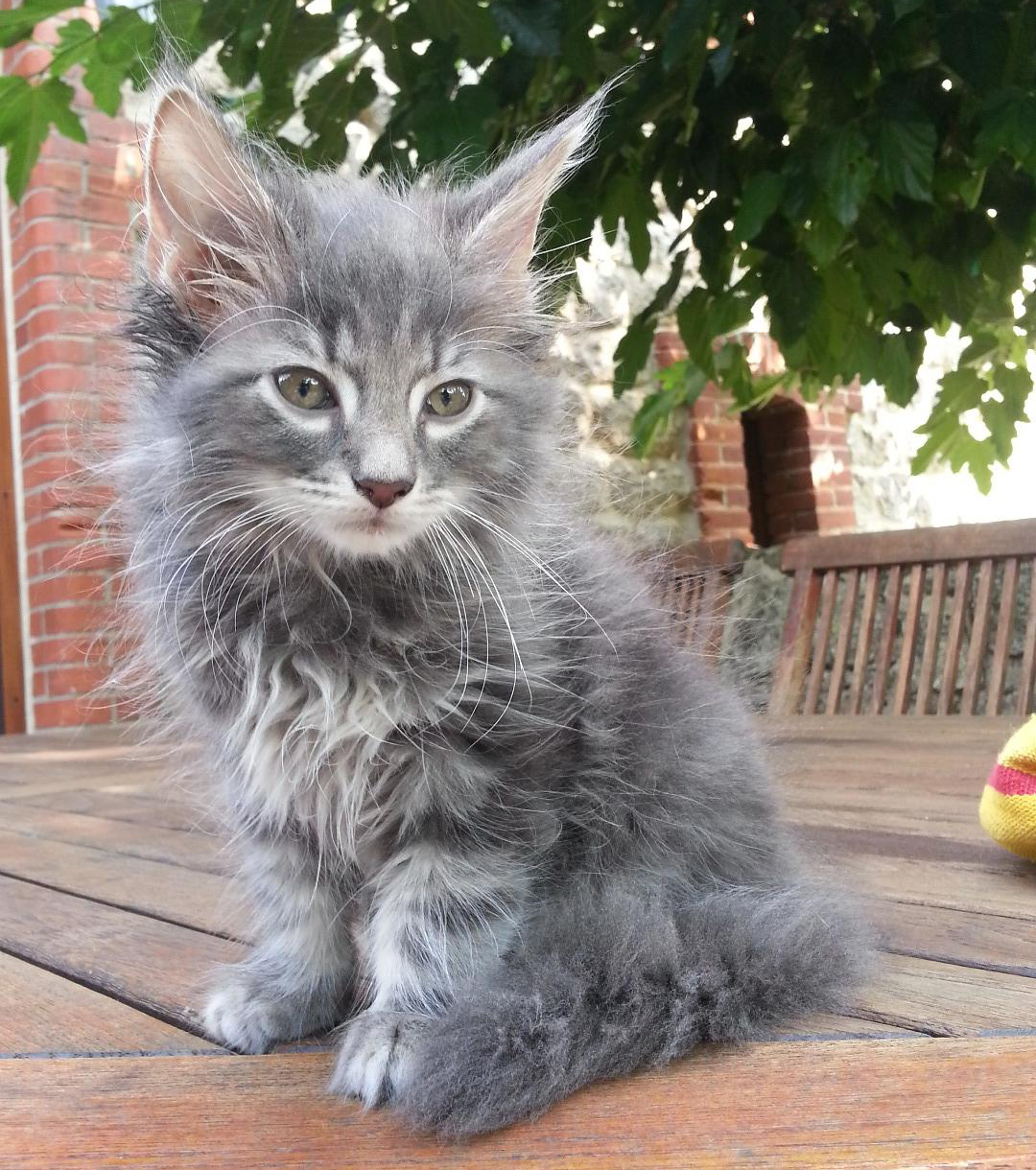Race de petits chats brosse carde chat - Image de petit chat ...