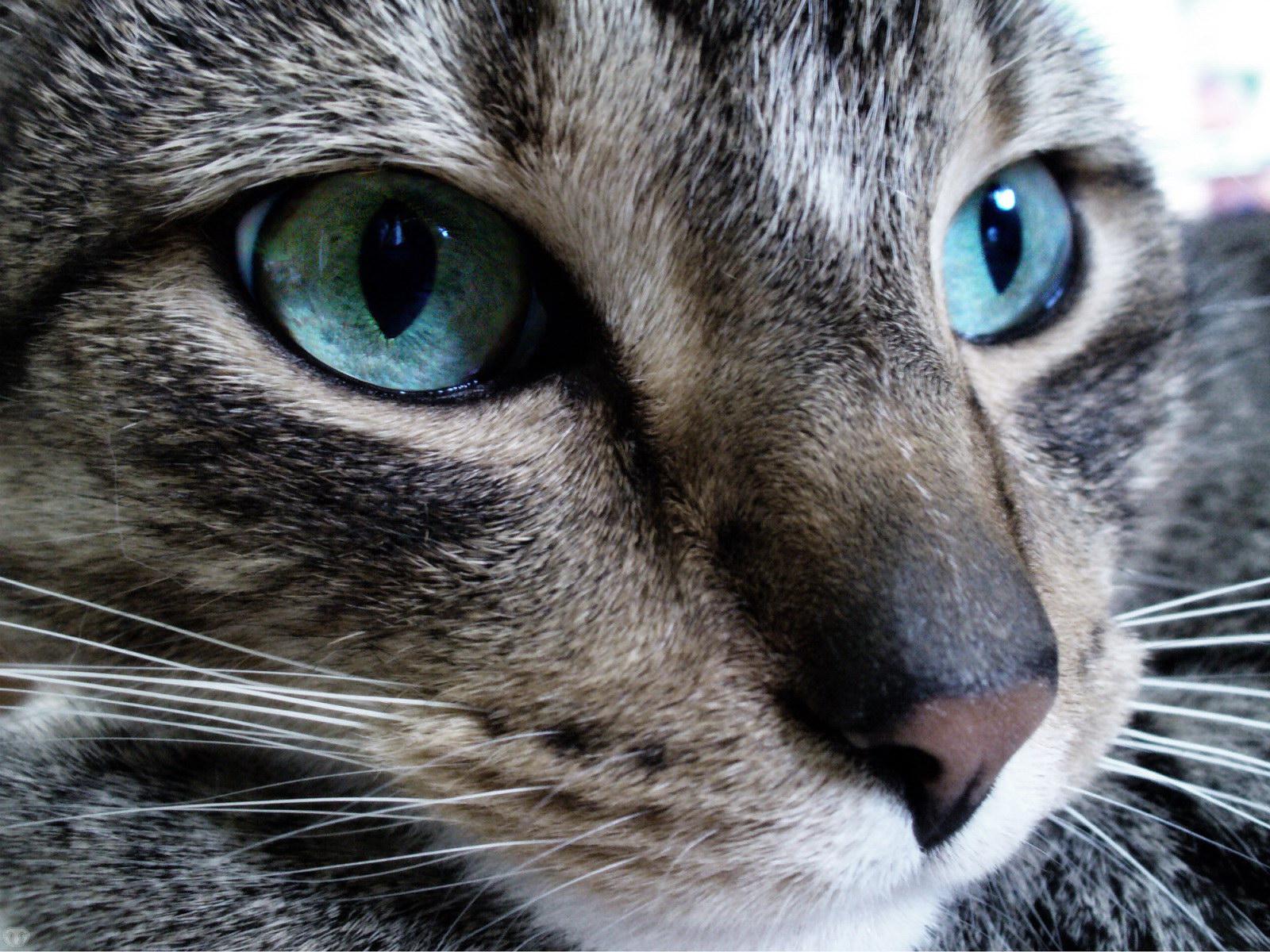 chats aux yeux bleus. Black Bedroom Furniture Sets. Home Design Ideas