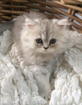 chaton-persan-chinchilla-silver-1