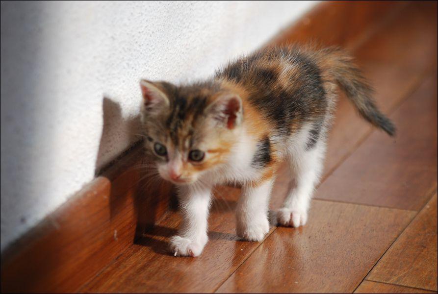 norvégien chat tricolore