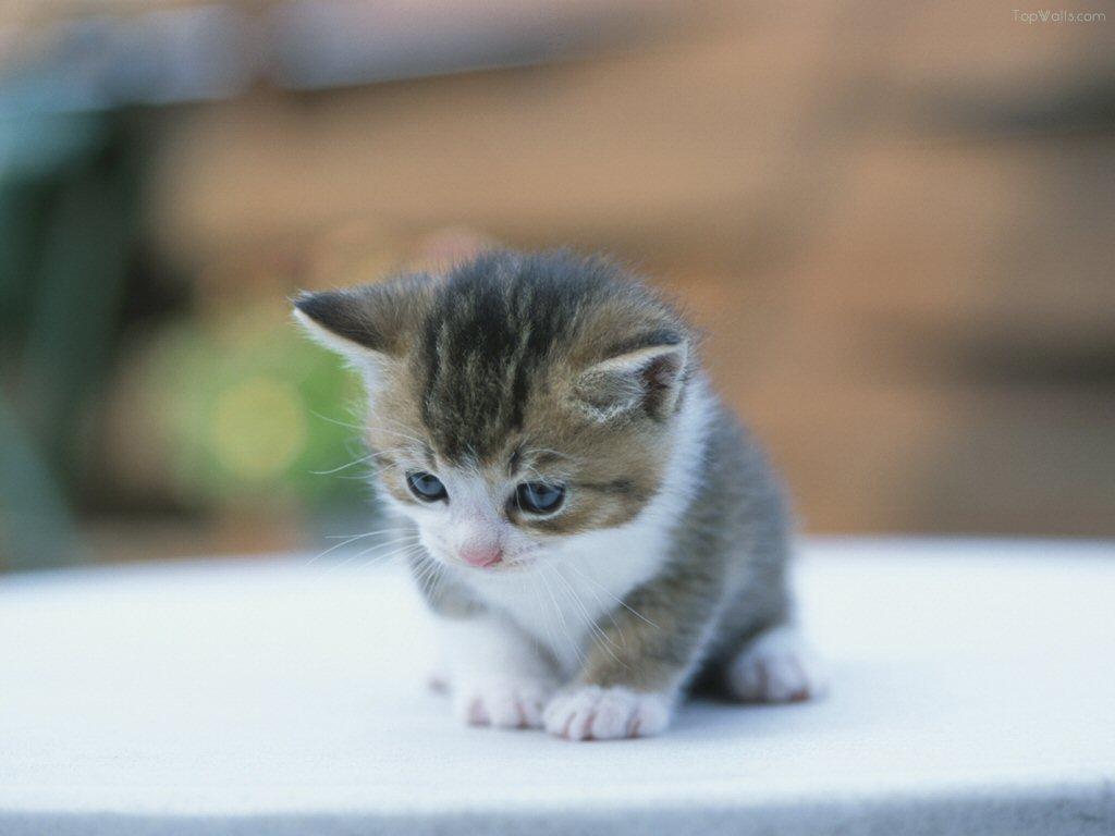 Bien connu Chaton a donner bruxelles prix de chat siamois | MS39