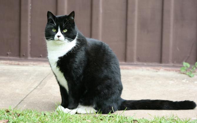 Race chat noir et blanc