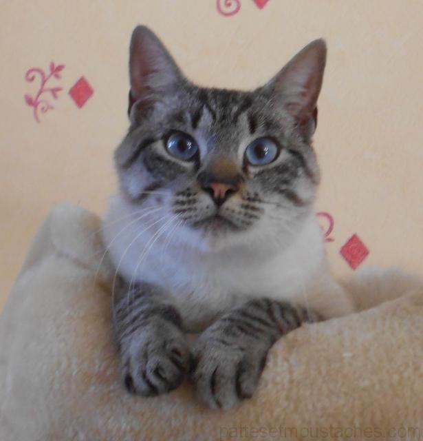Chat yeux bleus race