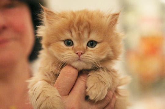 petit chat a adopter chaton bengal - Chaton Bengal Gratuit