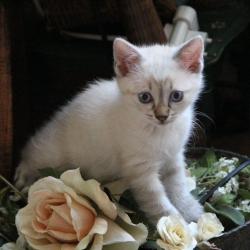 Chaton gris yeux bleu croisement chat et serval - Yeux gris bleu ...