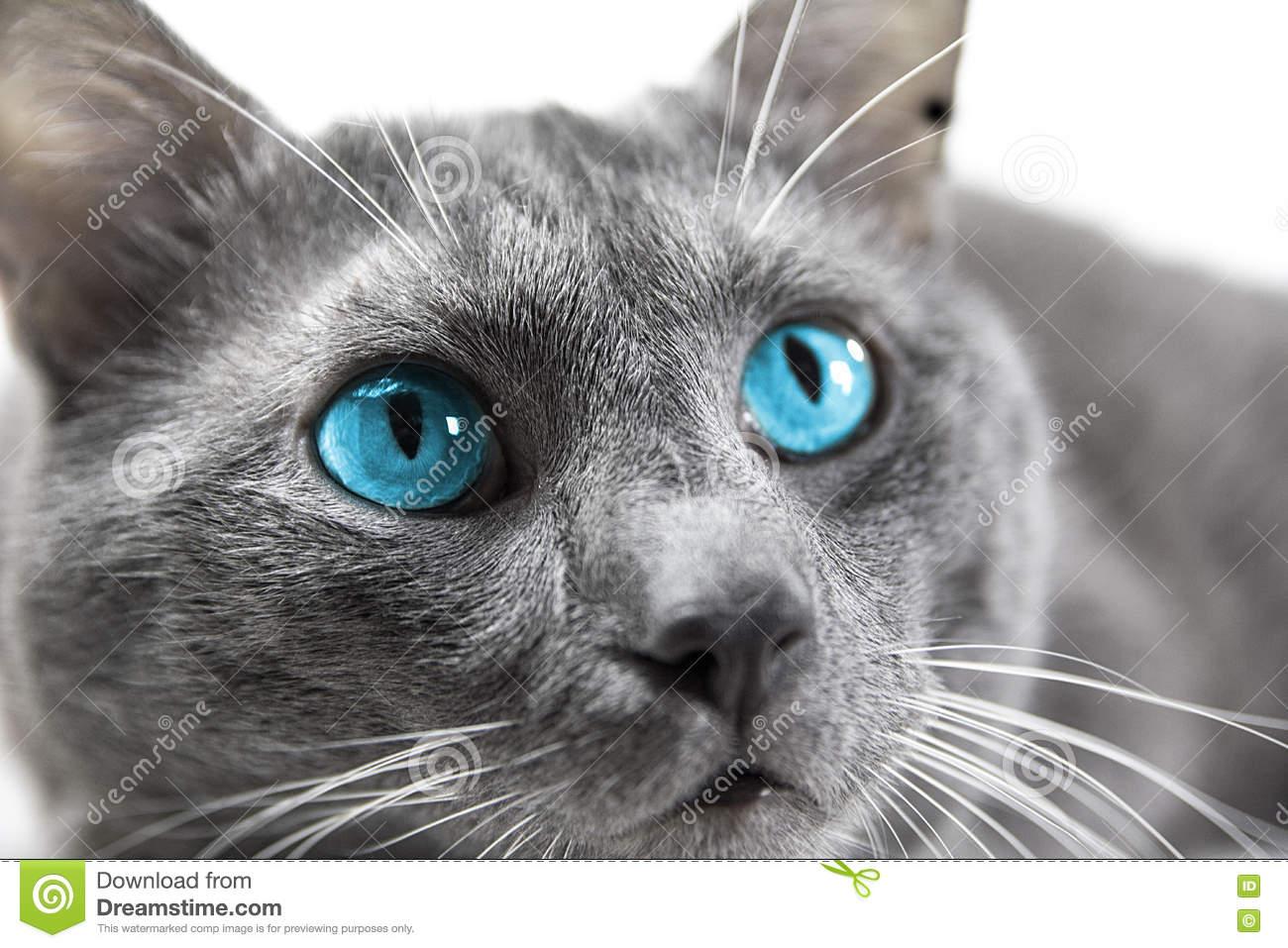Chat gris yeux bleu grand chat de race - Yeux gris bleu ...