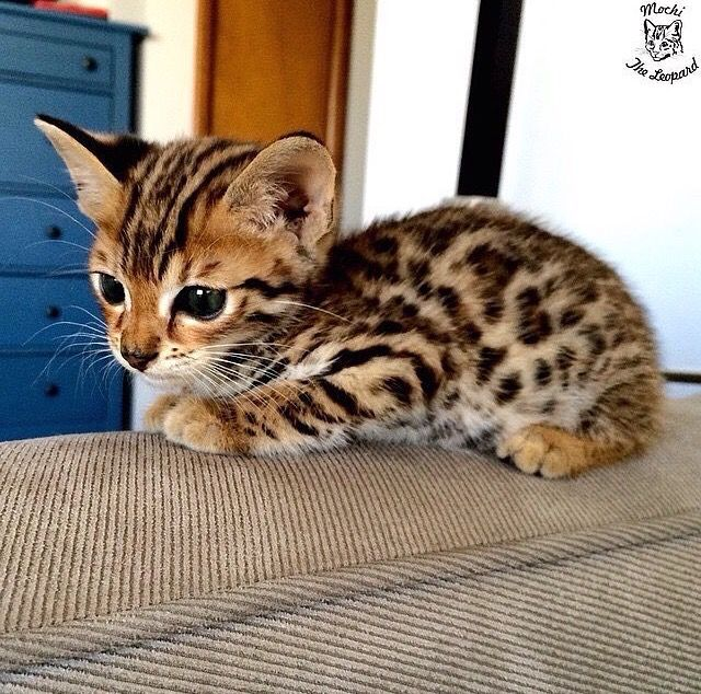 Chat guepard