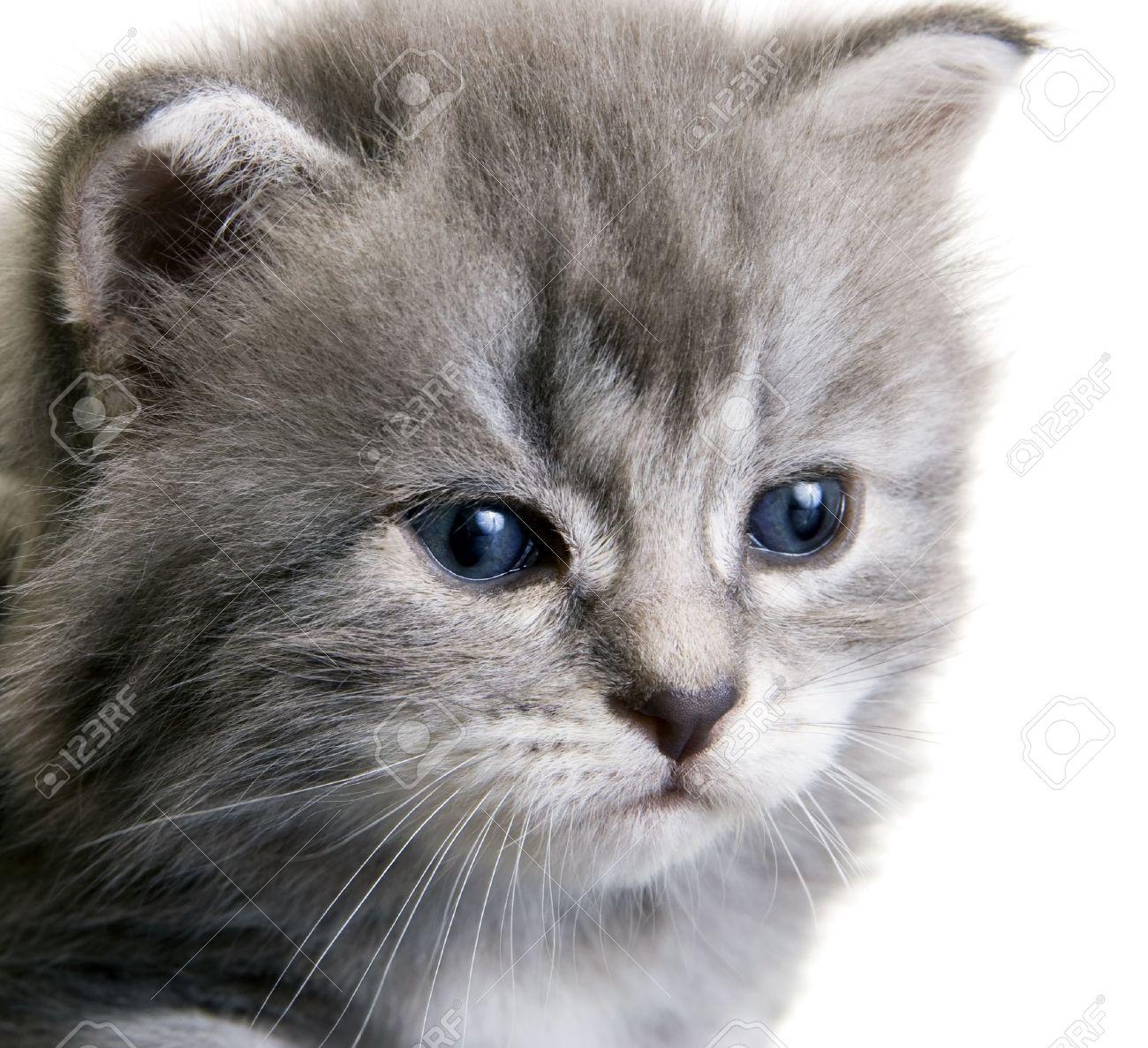 Chat gris yeux bleu chat gris poils longs - Yeux gris bleu ...