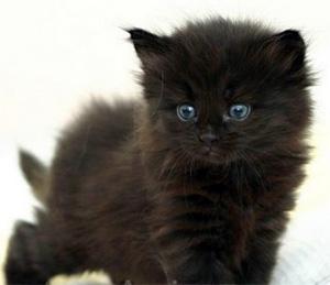 Race de chat noir aux yeux bleus