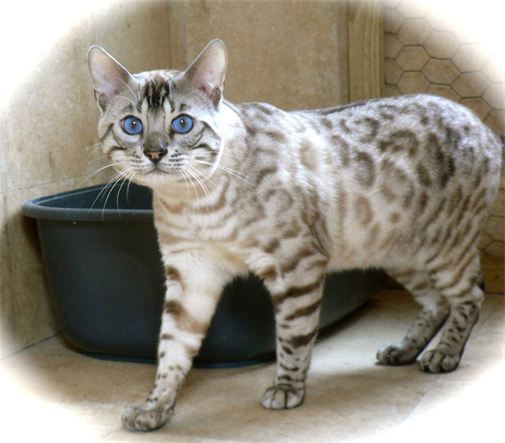 Bengal silver snow