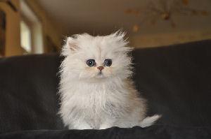 Chat petit gabarit