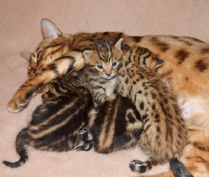 Chaton type bengal chat leopard a donner - Chat type leopard ...