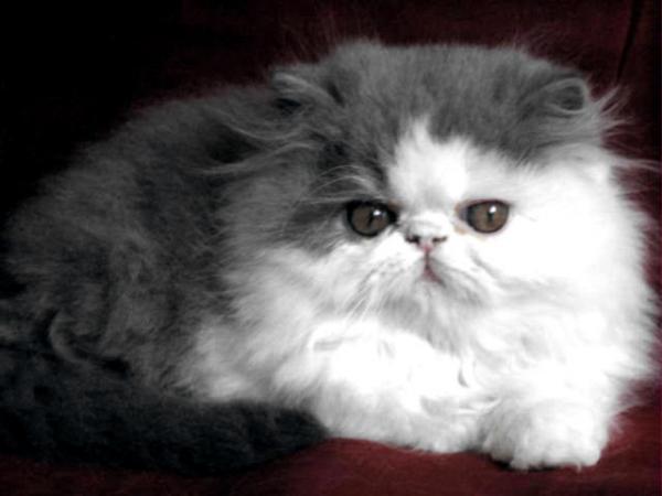 Chat persan blanc a vendre