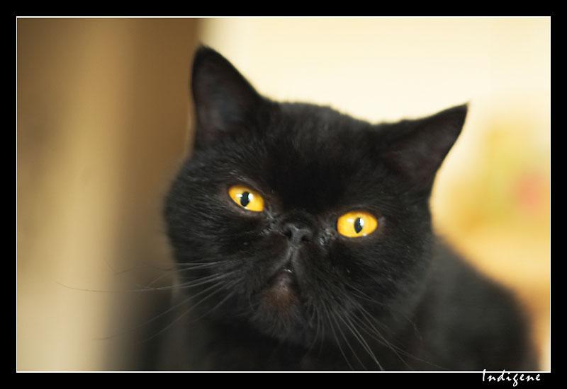 Chat persan noir yeux bleu