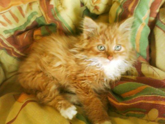Chat roux a poil long