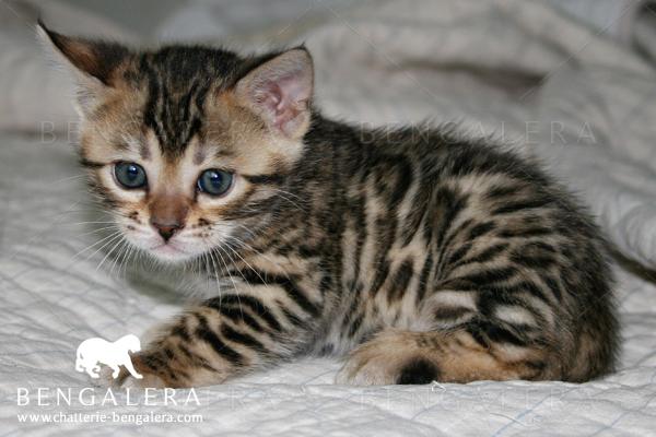Acheter un chat du bengal chaton bengal blanc - Chat du bengal gratuit ...