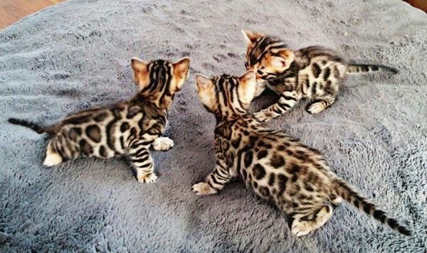 Bengal chaton chat tigre du bengale a vendre - Chat du bengal gratuit ...
