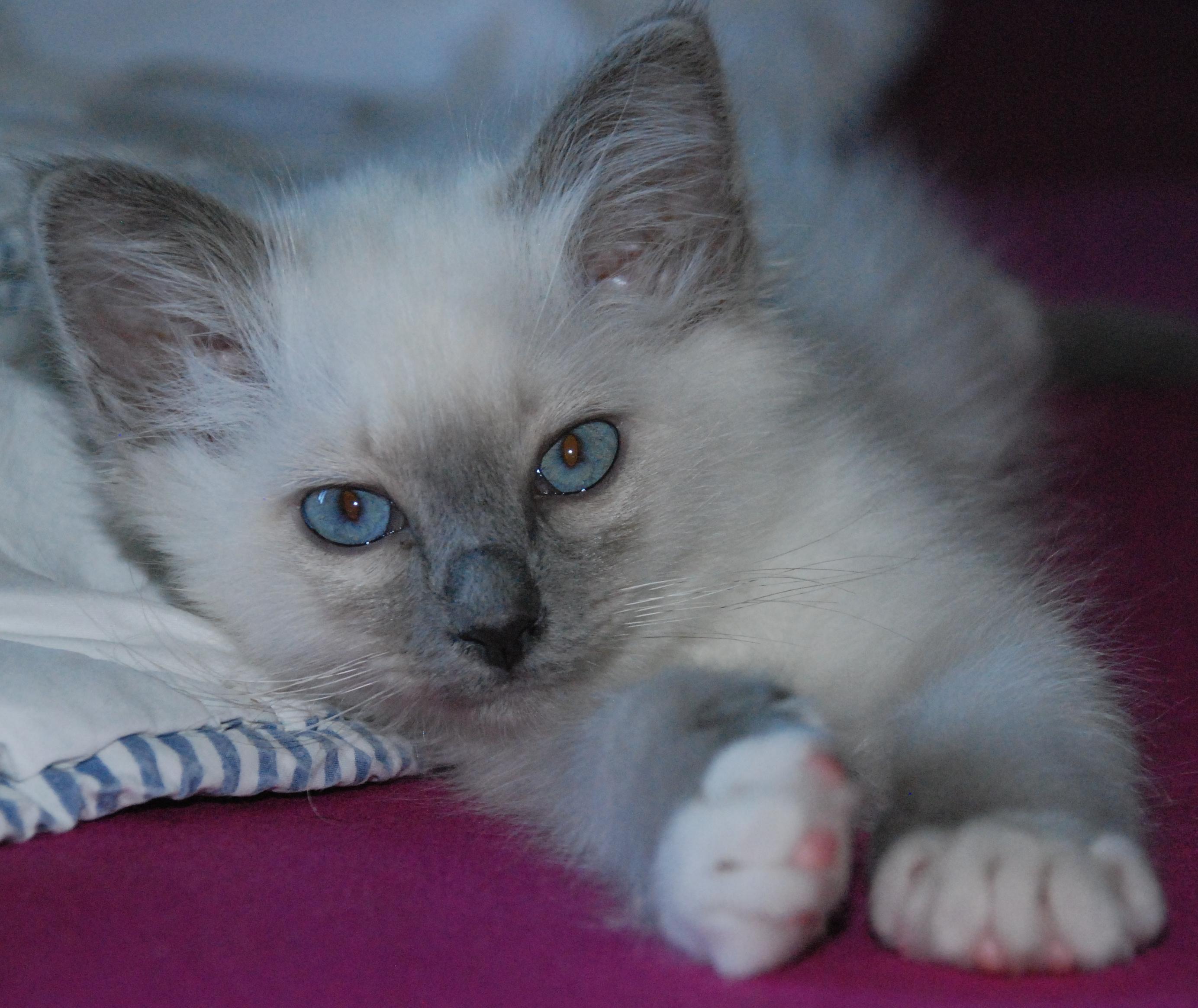 Achat de chaton