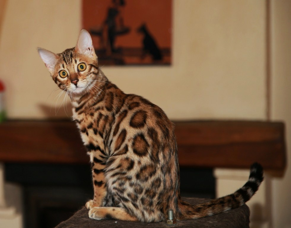 Chat lynx a vendre pas cher