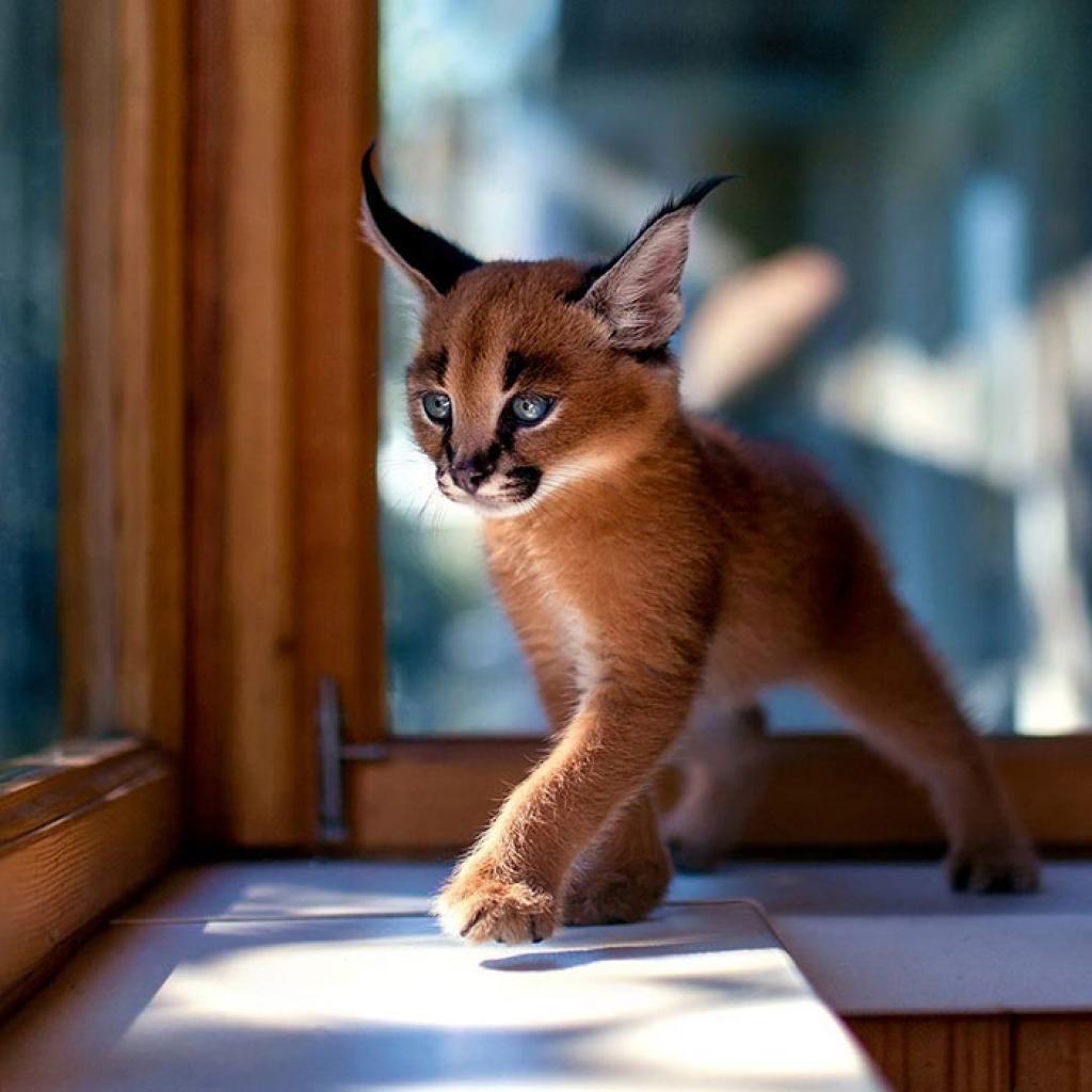 Les races de chats les plus connues