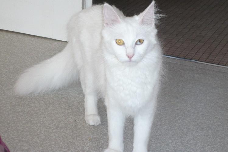 Prodaja Prodajalne Prihajajoci Novo Poceni Cat Angora Turk A Vendre A Dans Candidobaldacchino Com