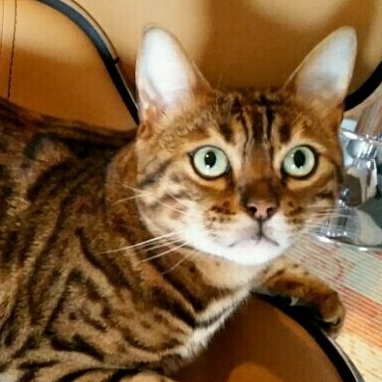Donne chat bengal chaton bengal a donner - Chaton bengal gratuit ...