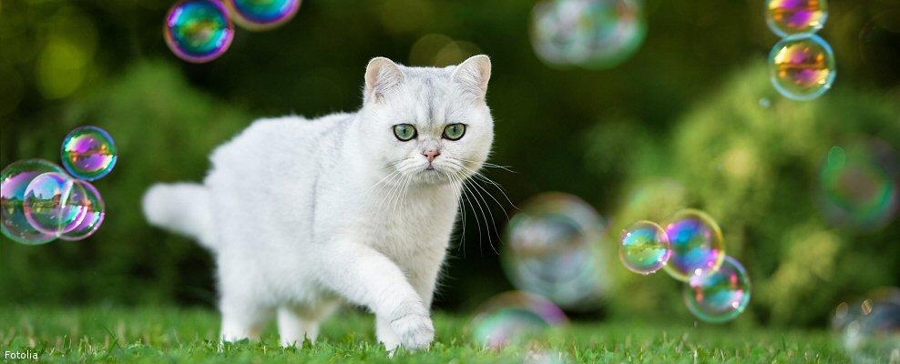 Vente de chaton de race