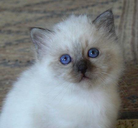 Chat blanc poils longs