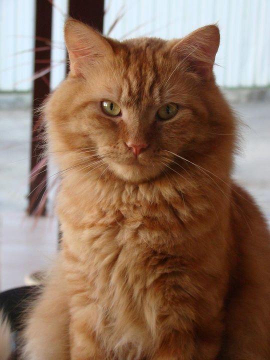 Chat roux et blanc angora