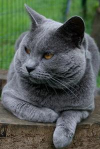 Chat bleu gris