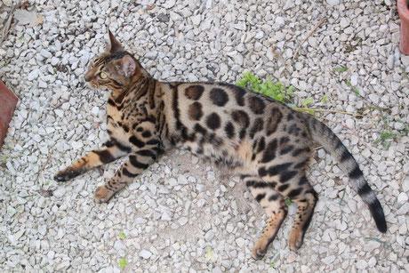 Leopard Du Bengal Chat Du Bengal Le Bon Coin