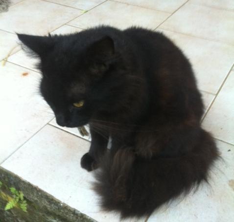 Chat noir a poil long
