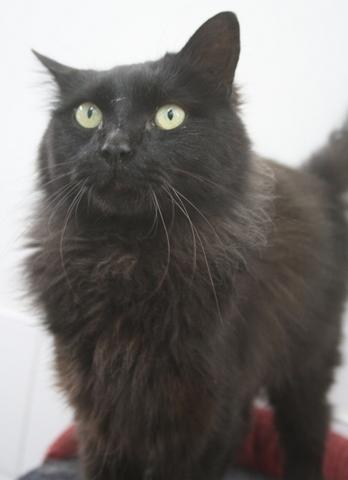 Chat noir long poil