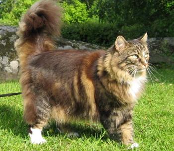 Caracteristique chat norvegien
